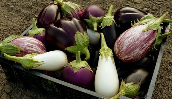 Как правильно вырастить рассаду баклажанов из семян в домашних условиях