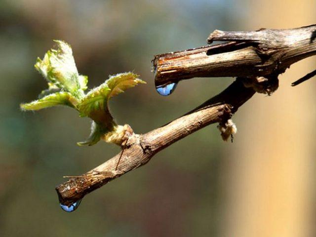 Все секреты обрезки винограда весной для начинающих